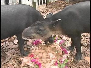 april tapir