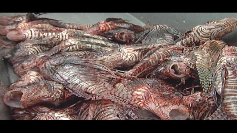 how to catch scorpion grouper ffxv