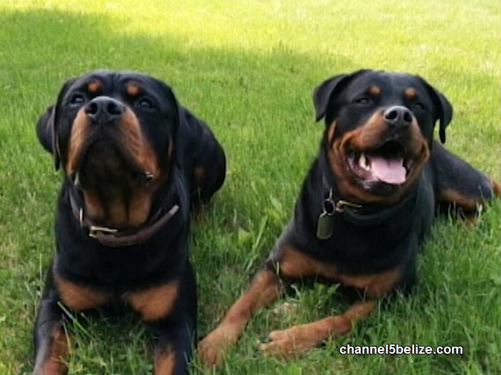 Boy Mauled And Disfigured By Marauding Rottweiler Channel5belizecom